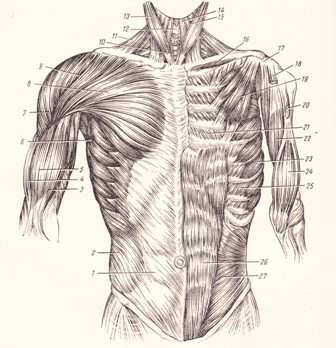 Мышцы груди, прикрепляющиеся на верхней конечности