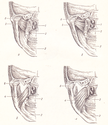 Медиальная крыловидная мышца