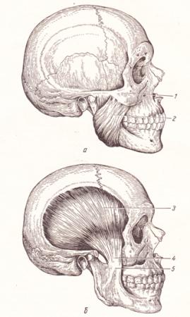 Латеральная крыловидная мышца